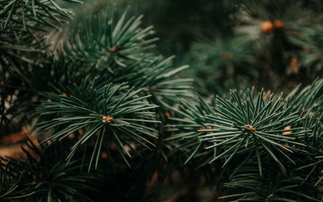 Spenden statt verbrennen: Mit Christbäumen kann man den Tieren im Mühletäli eine riesen Freude machen – Olten – Solothurn – Oltner Tagblatt