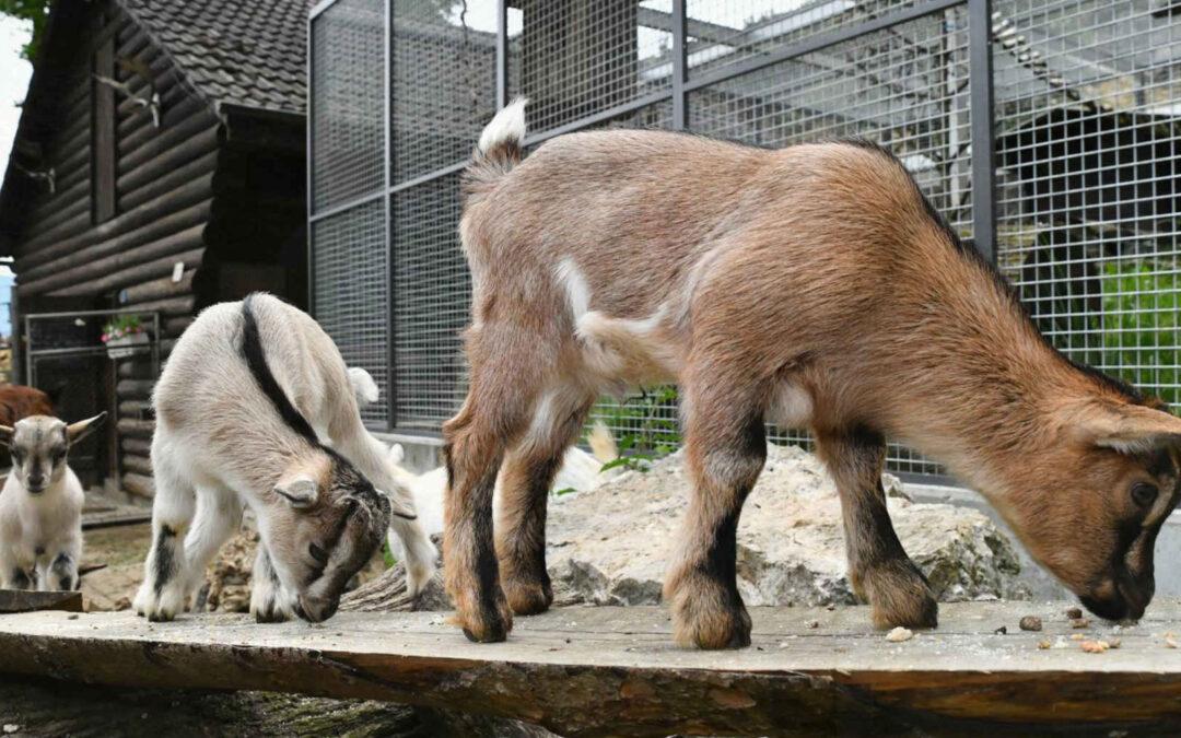 Charlys Sprösslinge erobern die Besucherherzen im Mühletäli – Niederamt – Solothurn – Solothurner Zeitung